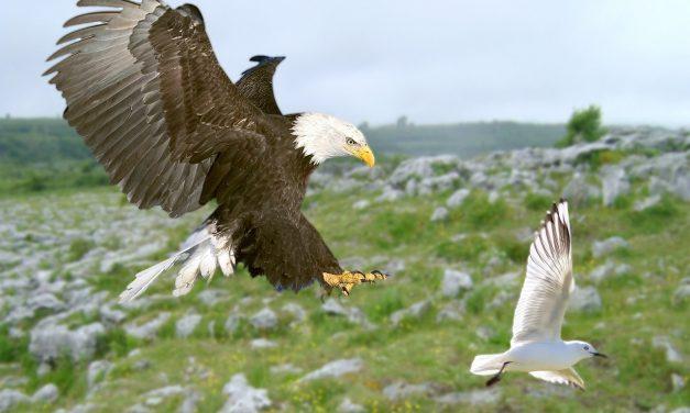 El Águila y la Gaviota (fábula)